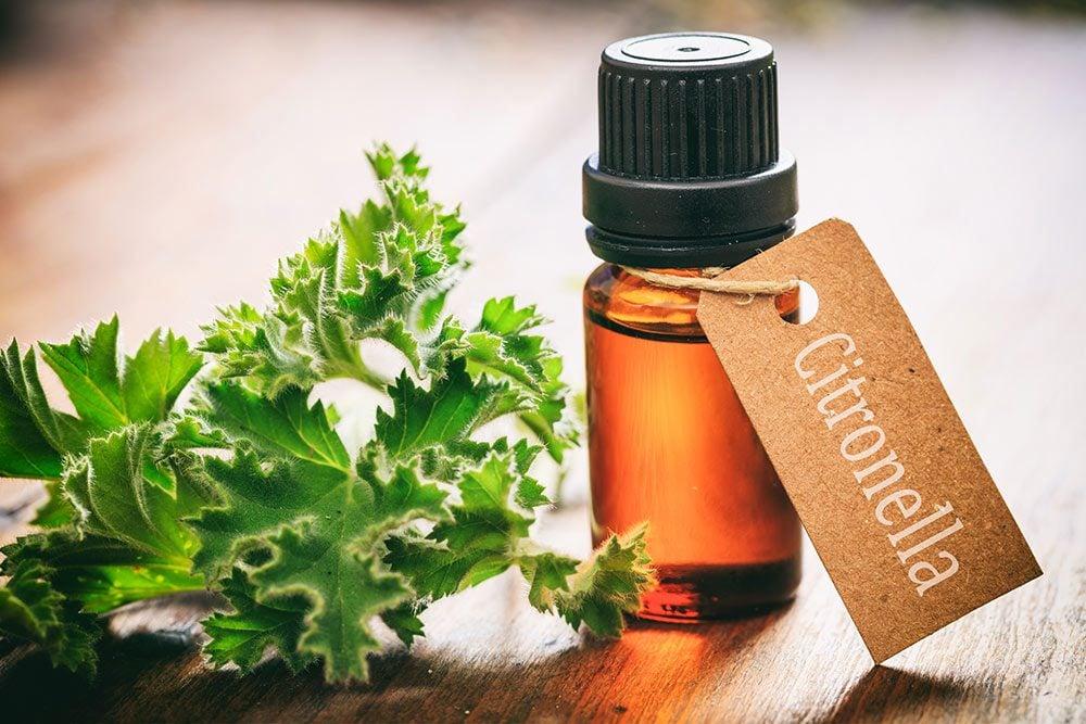 Citronella oil as mosquito repellent